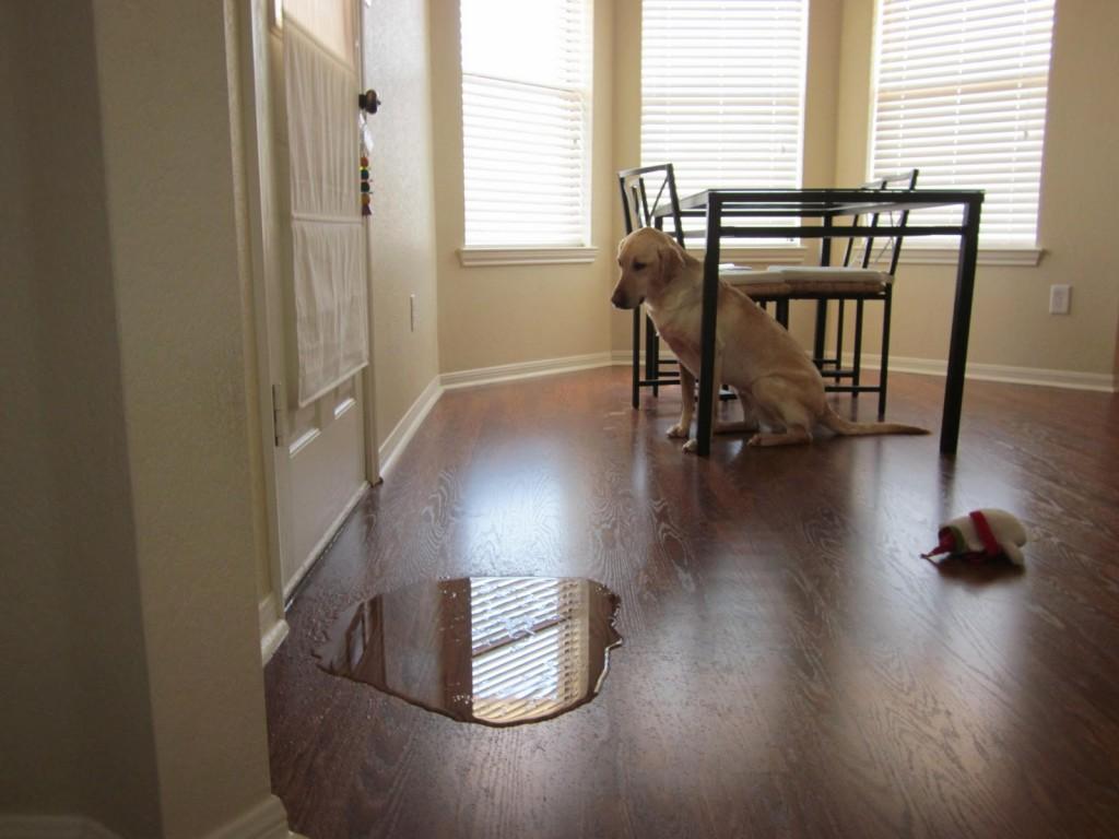 Mijn (volwassen) hond plast in huis