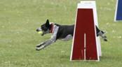 Flyball, voor de echte ballengek!