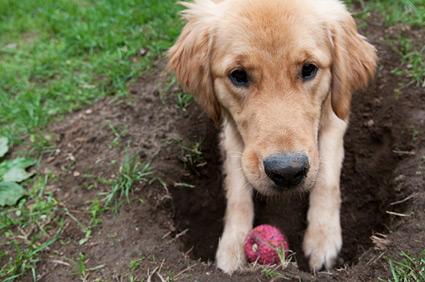 Waarom begraven honden dingen?