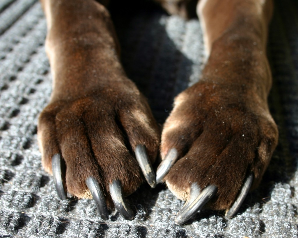 how to cut really long dog nails