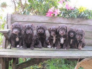 Labradoodle-puppies