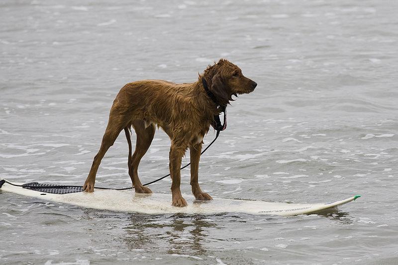 Waterspelletjes met je hond: Surfen
