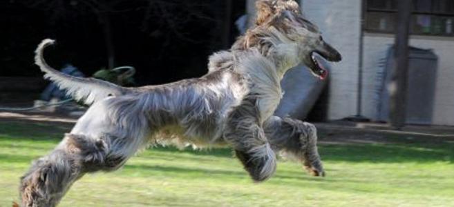 afgaansewindhond1