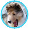 Schotse Herderhond (Collie)
