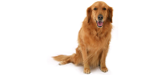goldenretriever2