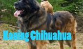 koning chihuahua