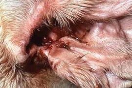overtollig oorsmeer bij hond