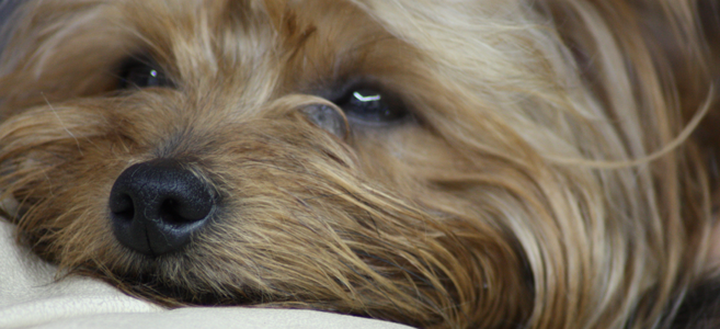 yorkshireterrier1