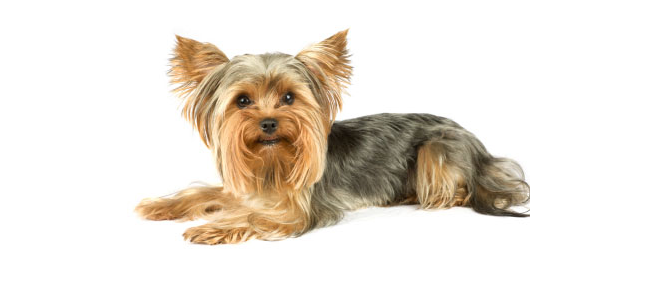 yorkshireterrier3