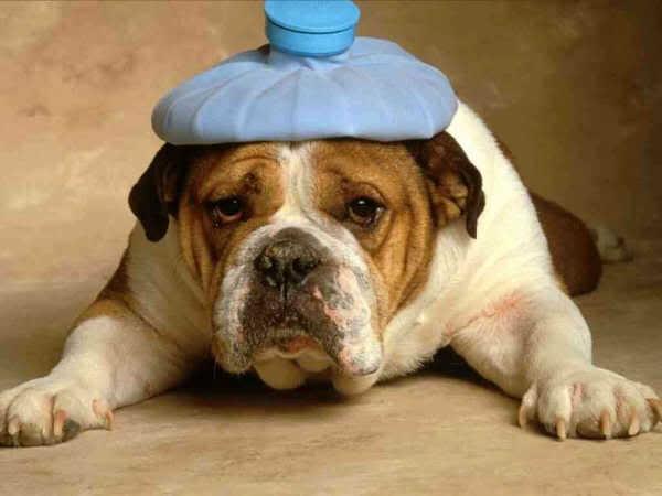 Huid- en vachtproblemen bij honden