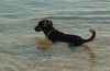 honden zwemmen